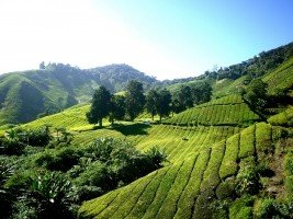 tea-plantation-tea-farm-tea-cameron-highlands